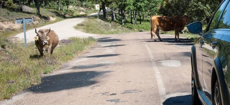 coche-autonomo-dilema-vaca-03-1440px